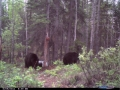June 2011 Black Bear 004